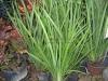 african-iris