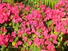 barbara-karst-red-bougainvillea-1