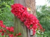 barbara-karst-red-bougainvillea-2