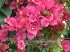 barbara-karst-red-bougainvillea-3