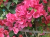 barbara-karst-red-bougainvillea