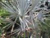 bismarkia-palm-1