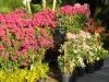 blooming-bougainvilleas