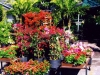 bougainvillea-display-1
