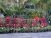 bougainvillea-display-2