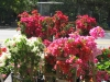 bougainvillea-display-3
