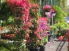 bougainvillea-display-4