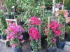 bougainvillea-display-5