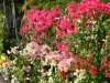 bougainvillea-display-in-front-of-nursery-1
