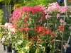 bougainvillea-display-in-front-of-nursery