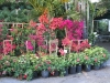 bougainvillea-display