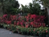 front-display-full-sun-bougainvilleas-crown-of-thorns