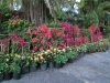 front-of-nursery-color-display-mixed-bougainvilleas-and-ixora-plants