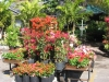 multi-colored-bougainvillea-display
