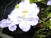 brunfelsia-bush