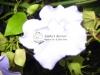 brunfelsia-plant