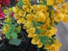 california-gold-bougainvillea-1