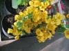 california-gold-bougainvillea-2