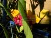 cattleya-orchid-1
