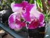 cattleya-orchids-1