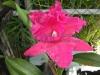 cattleya-orchids-3