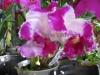 cattleya-orchids-4