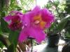 cattleya-orchids-5