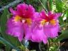 cattleya-orchids-6