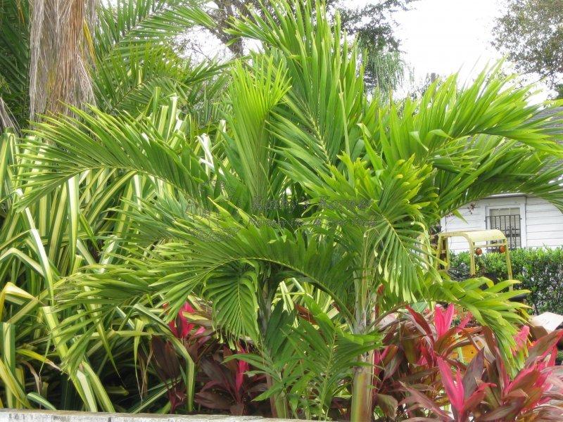 Christmas Palm Kathy S Korner