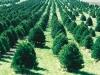 Christmas_tree_farm_IA