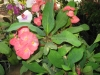 giant-crown-of-thorns