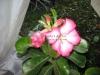 desert-rose-1