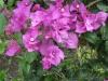elizabeth-angus-purple-bougainvillea-1
