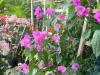 elizabeth-angus-purple-bougainvillea-2
