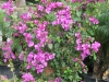 elizabeth-angus-purple-bougainvillea