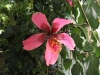 figi-weeping-hibiscus-tree-2