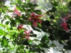 figi-weeping-pink-hibiscus-tree