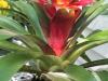 guzmania-bromeliad-2