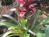 guzmania-bromeliad