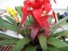 red-guzmania-bromeliad-1