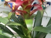 red-guzmania-bromeliad