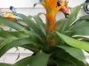 yellow-guzmania-bromeliad-1