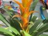 yellow-guzmania-bromeliad