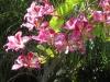 hong-kong-orchid-bloom