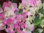 Imperial Thai Bougainvillea