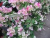 imperial-thai-bougainvillea-2