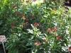 jatropha-plant