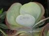 paddle-leaf-kalanchoe