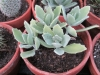 teddy-bear-kalanchoe