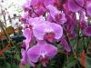 Lavendar Phalaenopsis Orchids